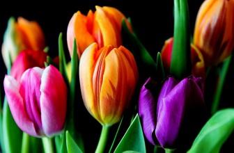 Des tulipes dans son jardin