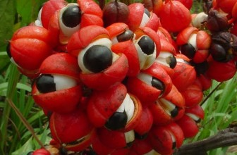 Les propriétés santé du guarana