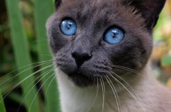 Le chat Siamois : que retenir de cette race de chat?